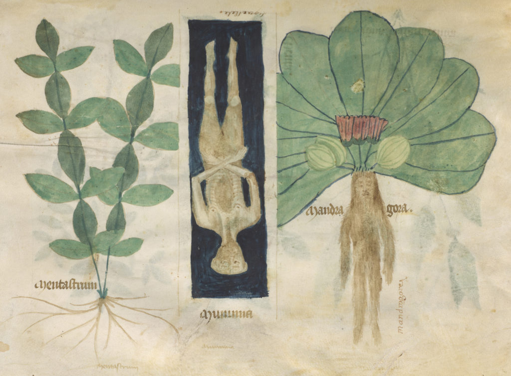 Illustration of mint, mummy and a mandrake